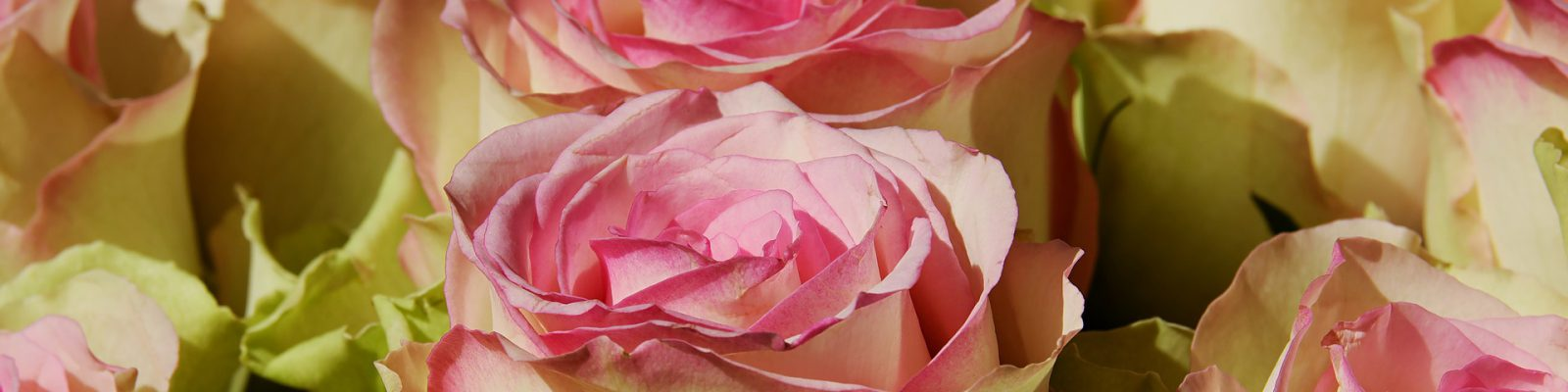 Roses for header image for Guy Wakeling Jewellery